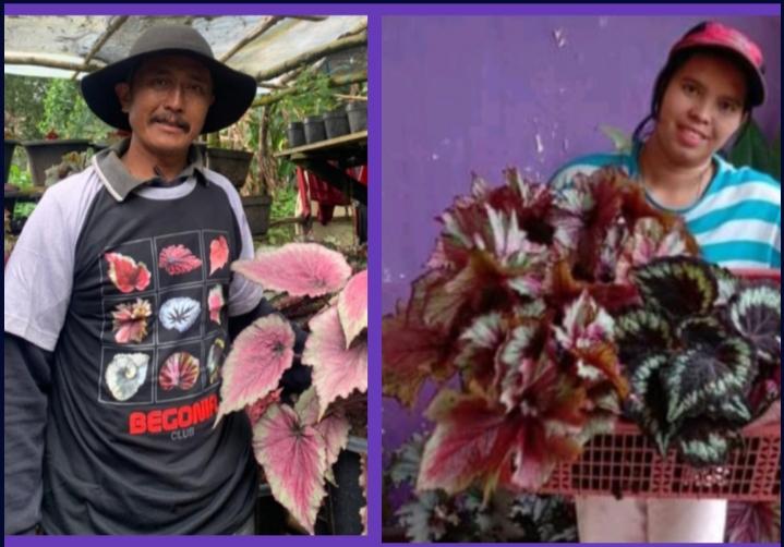 Stok Membeludak, Pembudidaya Begonia Rex Jual Paket Hemat Secara Online