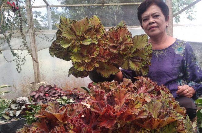 Aslina Br Pelawi di antara Begonia Sultan di kebunnya.
